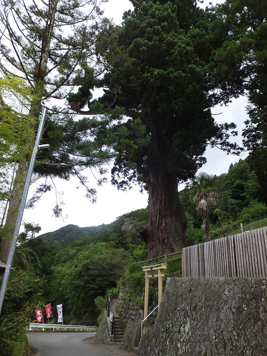 箒(ほうき)の杉